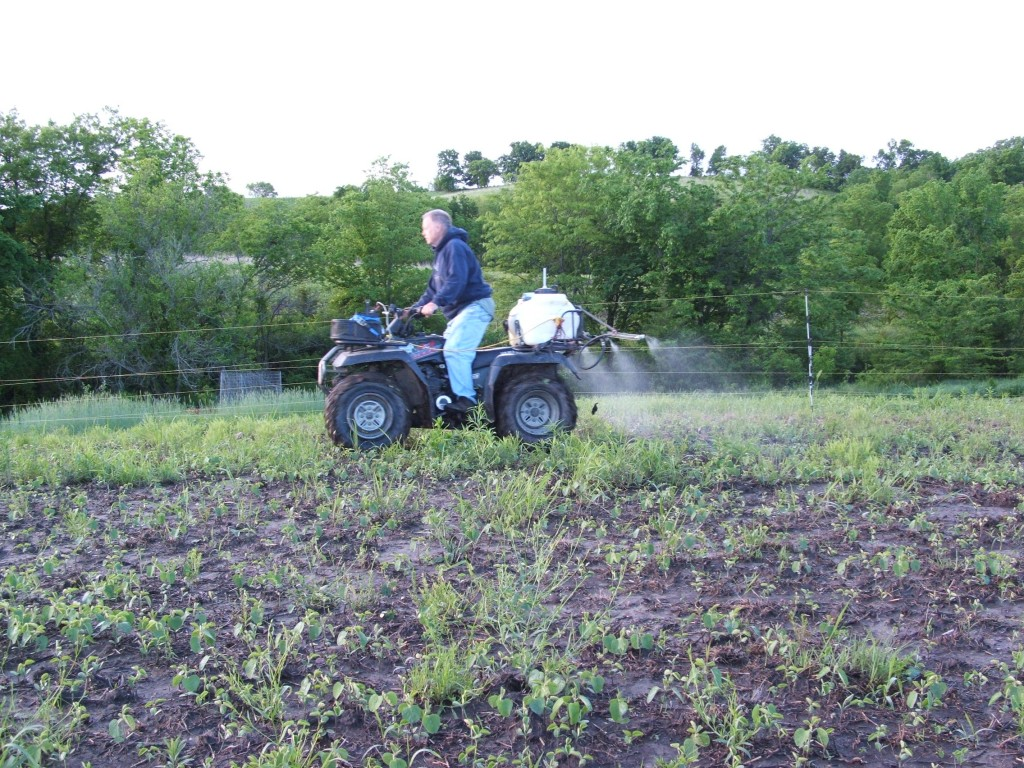 Soybeans are a great choice.  One reason I like the soybean is by planting round-up ready beans it allows you to keep the weeds in check.  Then you can plant your summer brassicas or fall green plots on weed free ground.  This photo is my dad spraying a small plot of soybeans about 3 weeks after planting in 2013.