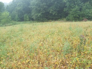 This early in the year it is not too common to find soybeans yellowing.  These beans are hit hard by lack of water and deer browsing.  So, we broadcast brassicas and lightly disced overtop.