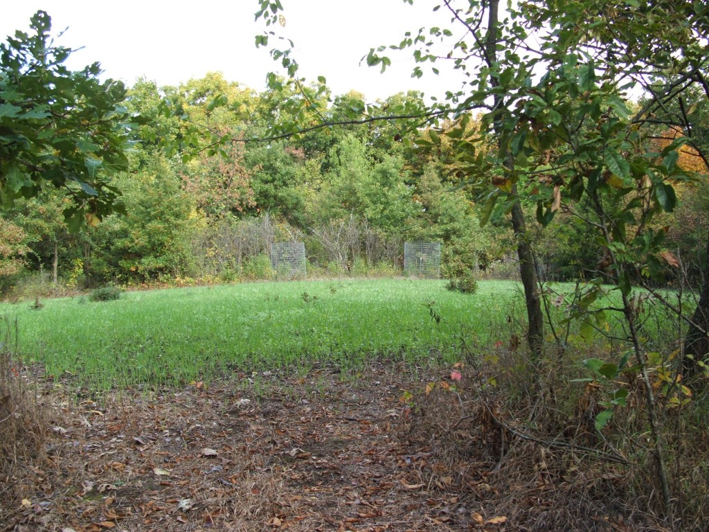 """You hear me talk about interior food plots all the time.  There's a reason for that...they draw deer and during daylight hours, especially bucks.  The """"Broken Toe"""" food plot in this picture is at a perfect stage for growth to attract deer.  Throw in a mock scrape or two and start hunting when it gets hot."""