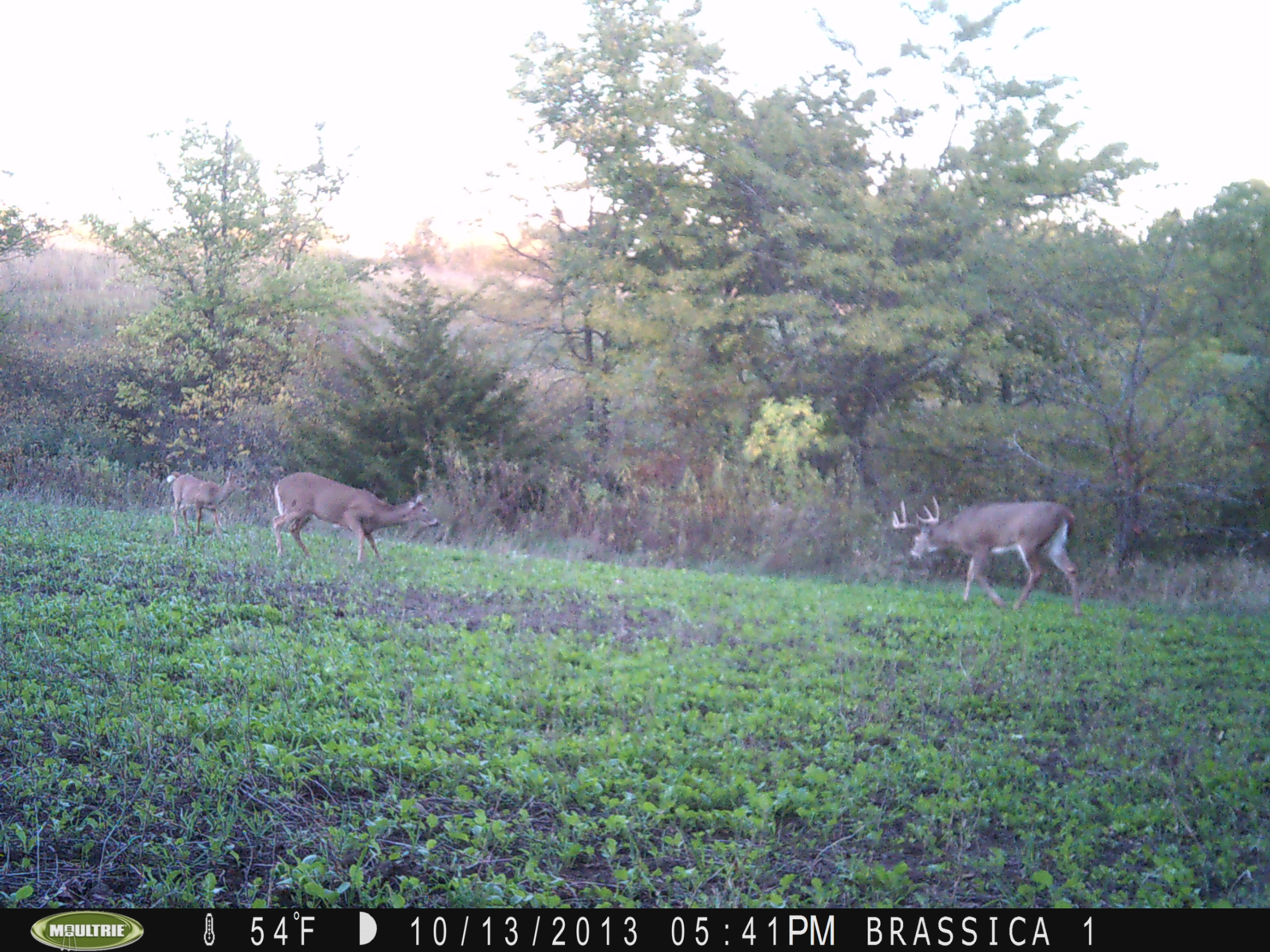 Right on schedule, we are starting to get some good bucks on our cameras some even during daylight.  Most cameras have been on food plots but we started putting them on active scrapes lately and they are getting hits.  This photo is on a brassica food plot with this good buck during daylight.