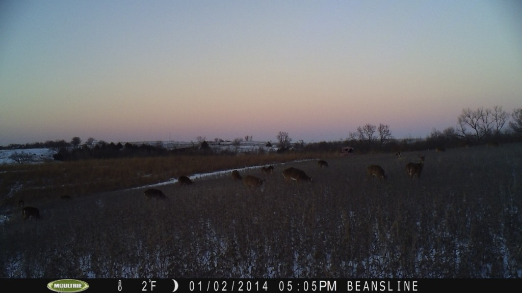 This shows a couple things.  Into January and the beans are still getting hit, and the plot is still not consumed because of the fencing.  See the blind in the background...in a day or two the winds almost ripped this blind to pieces.  In the future, I will be using more permanent blinds for late season hunting.