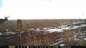 This 2 acre bean field was still drawing deer into mid to later January when the beans finally ran out.  I removed the fencer and pulled the fence down in late fall releasing the plot planning a late muzzleloader hunt.  About 10-30 deer fed on the beans almost every night once released