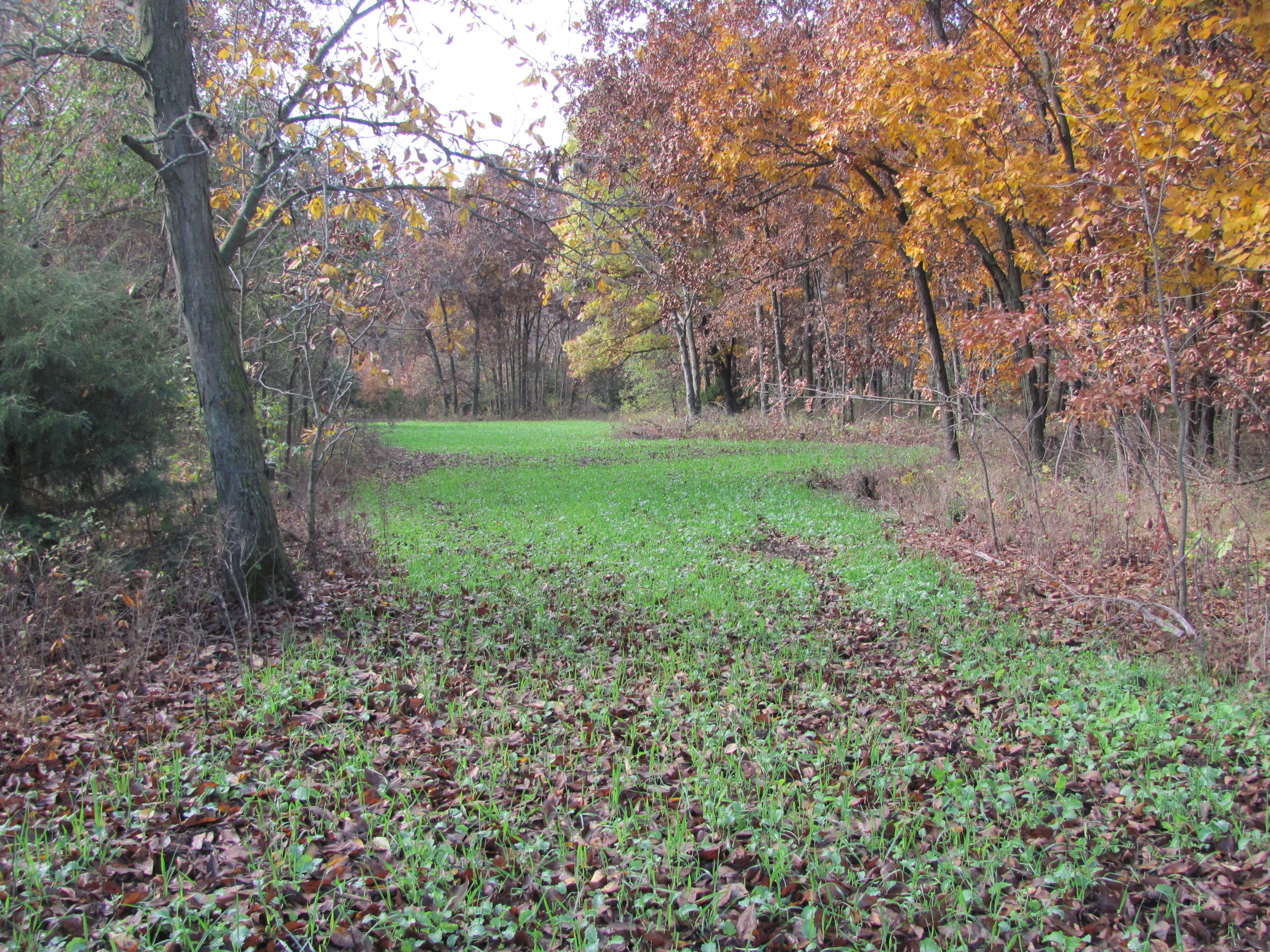 This narrow lane leads back to an interior plot.  This interior plot is located just off of a preferred ag field.  I can get in to this spot on evening hunts without getting busted.  Bucks love to scrape and work around and in the interior plot before going out to the ag fields.
