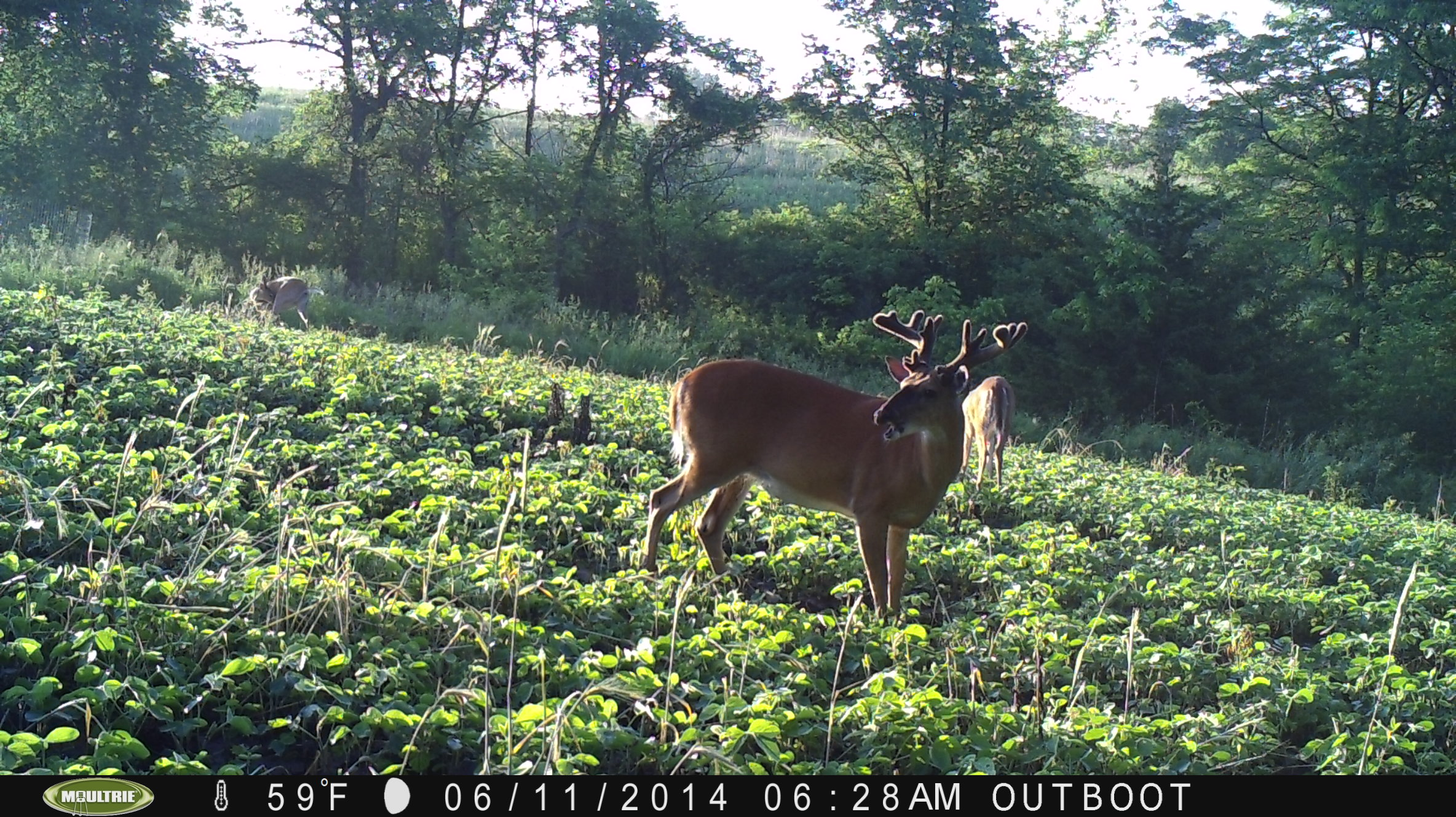 I find it hard to get pictures throughout summer because the deer are so dispersed.  This guy looks pretty good for early June!  I might know this deer??? Stay tuned!