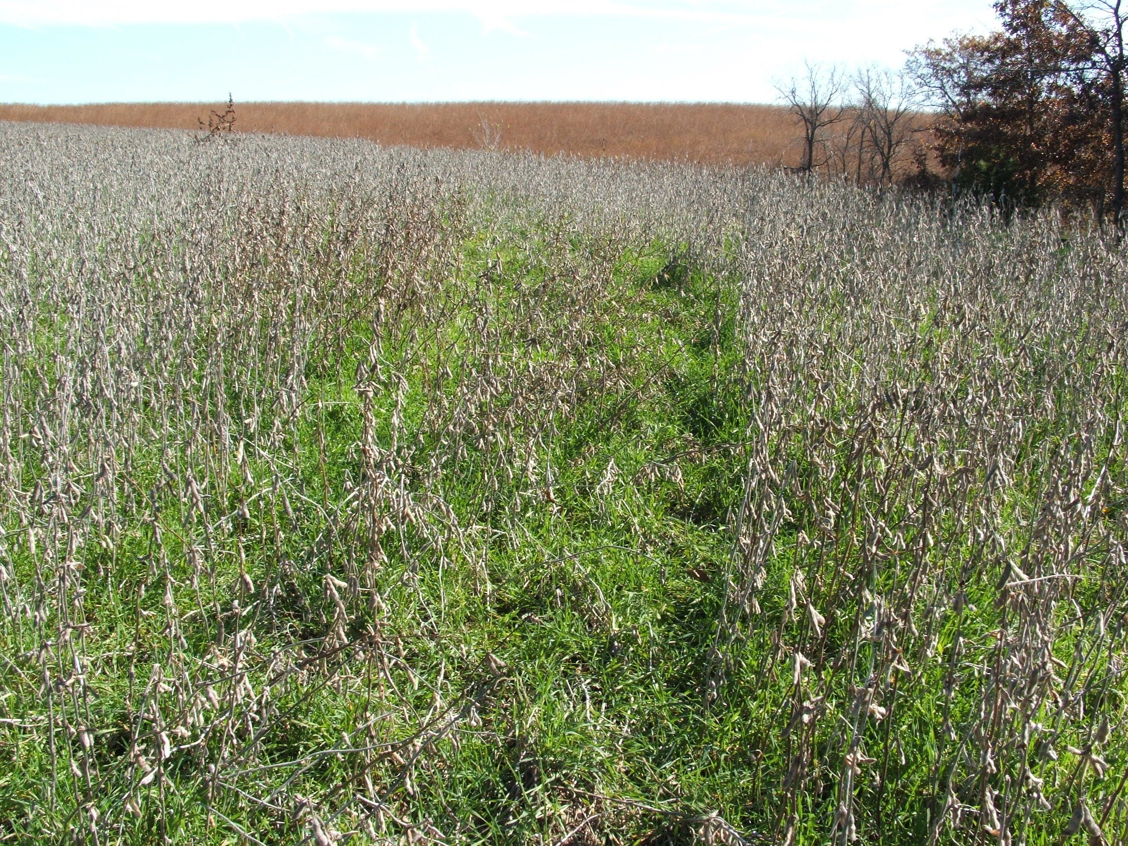 Soybeans over-seeded with winter rye is a great, if not the best food plot.  When the beans are consumed what remains is a solid plot (winter rye) that will stay green all through winter and into next spring.