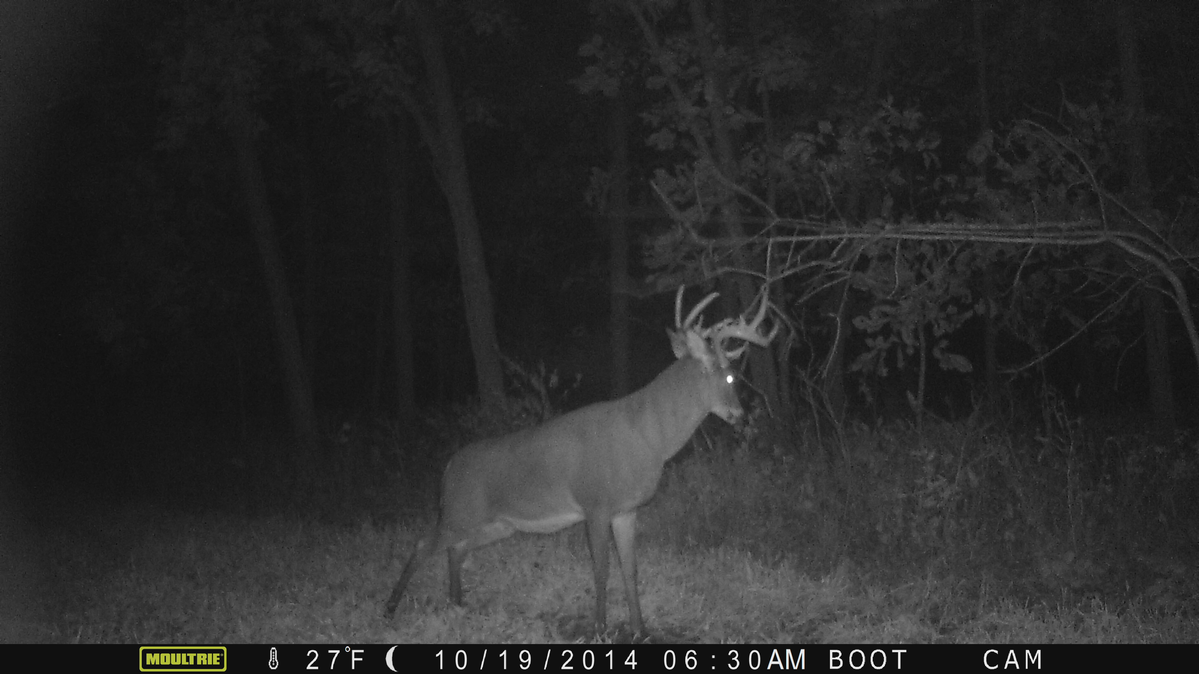 """Captain Jack"" in the boot interior plot in October.  He has already broken his right G2 but you can see this deer is a brute.  Here, he is working a mock scrape my daughter Lily and I put in."