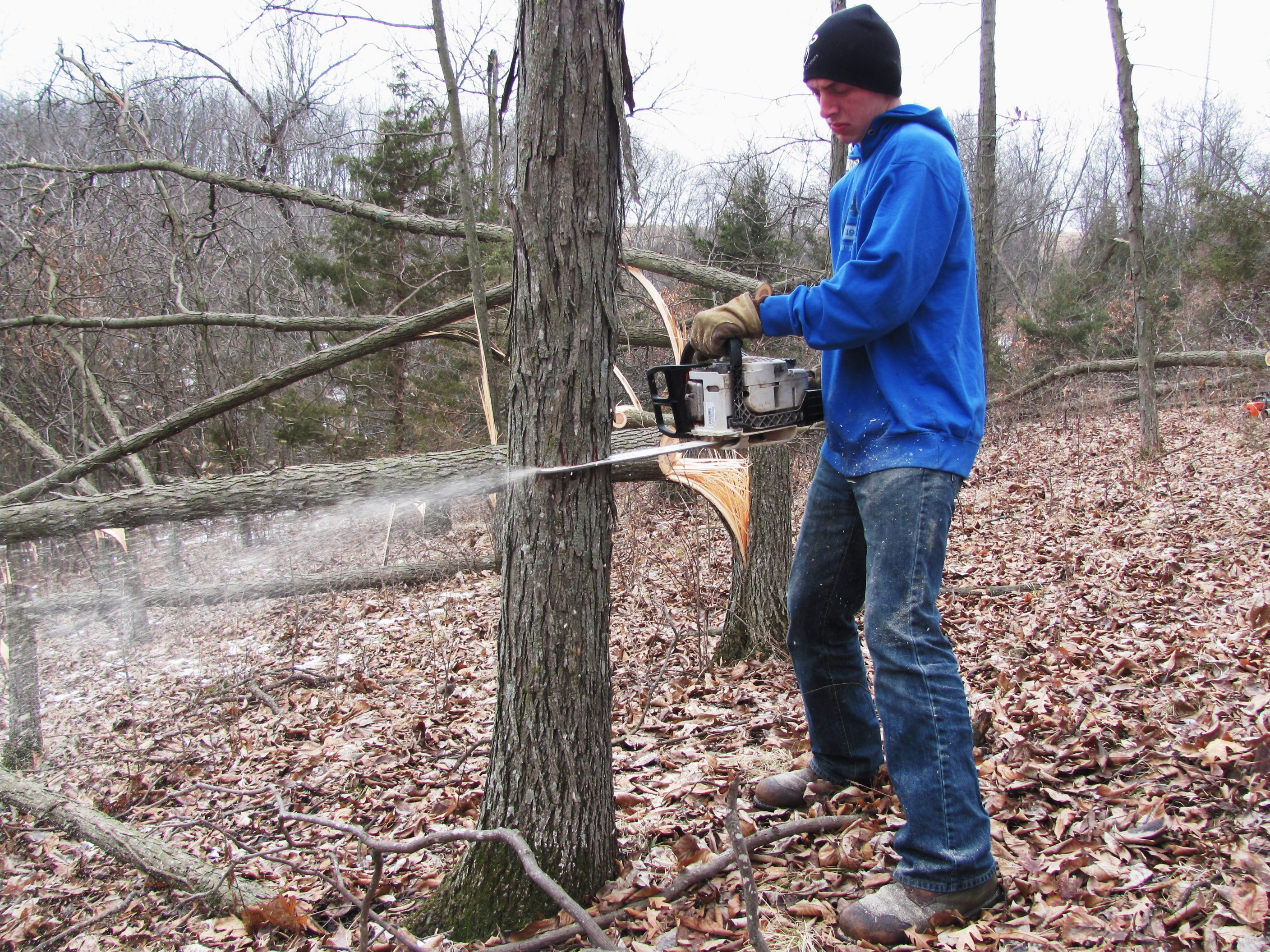 My son Forest using the Stihl MS170 to hinge cut some shagbark hickory.