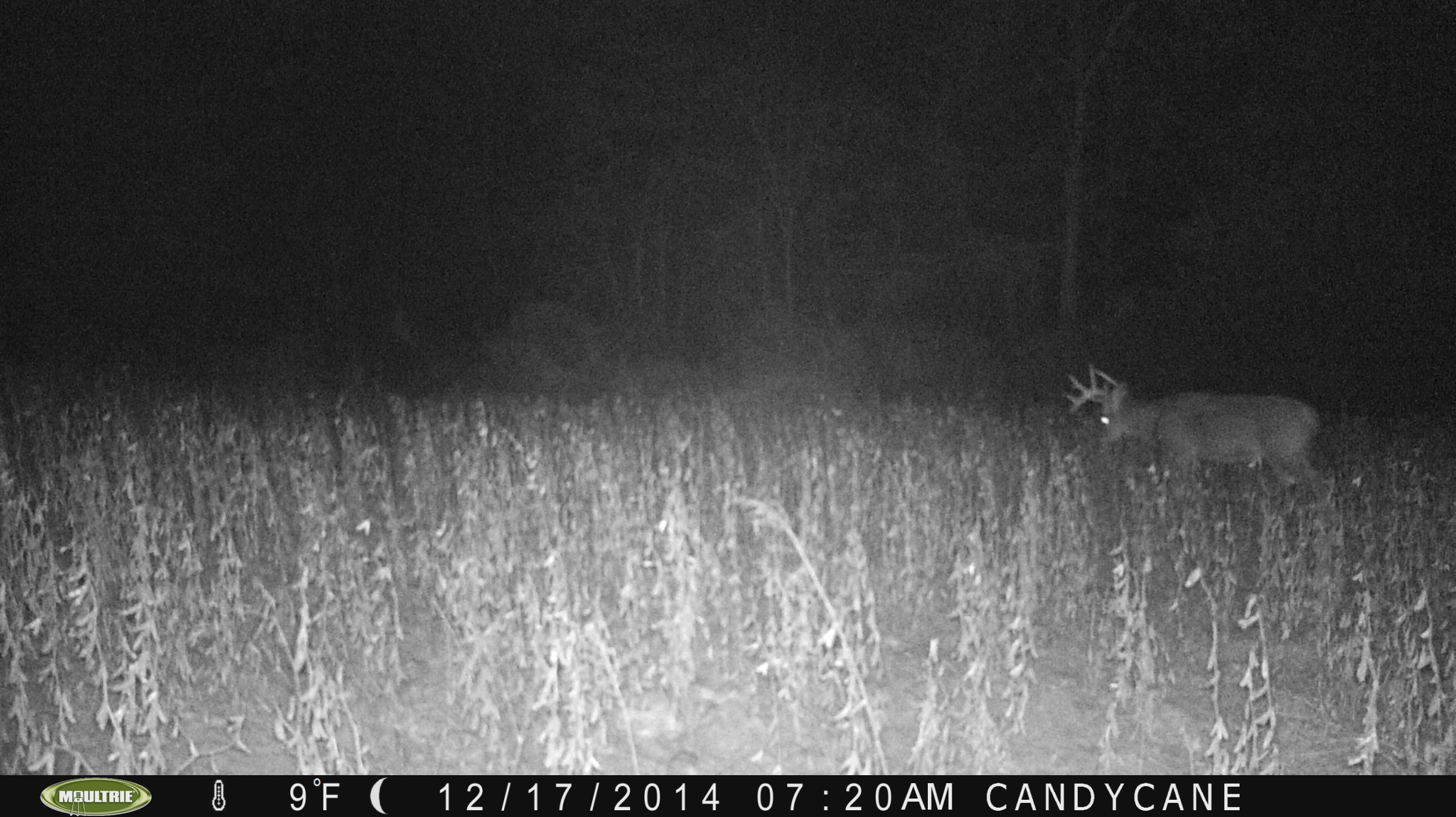 Captain Jack.  Captain has been on the farm since I bought it.  He is a very nice 5 or 6 year old buck.  This year, very early on, he broke his right G2 buck broken tines don't deter us from harvesting a mature brute.  I saw this buck December 5th while sitting out glassing the farm.  He came out well before dark and fed into a soybean plot.  We have many pictures of him late this year.