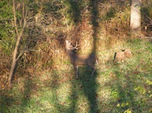 I took this picture of a nice buck making a scrape in an interior plot planted in rye, appins, and rape.  Notice very few brassicas remaining.