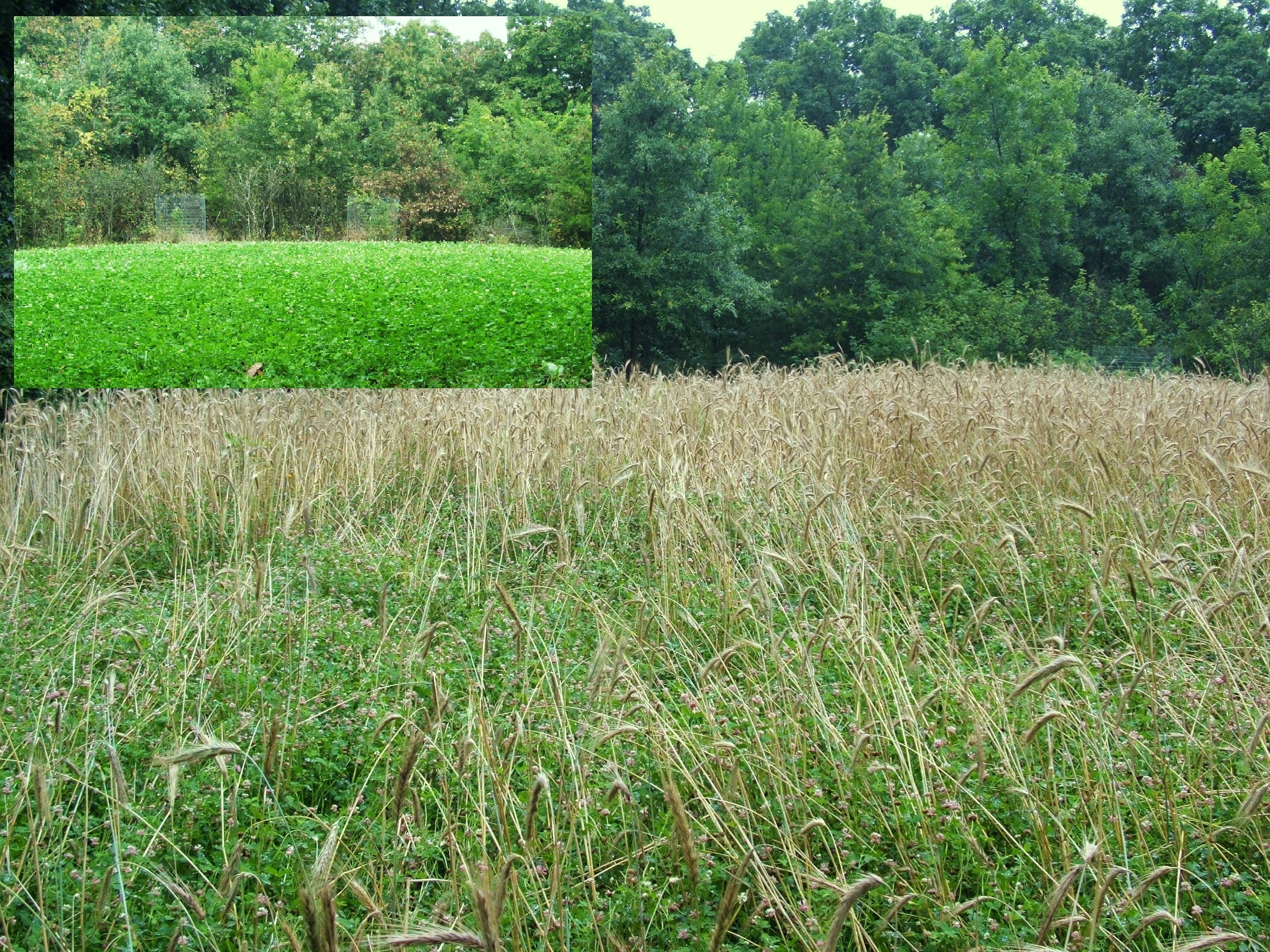 This clover plot was planted in the fall as part of a blend of winter rye, appin turnips, and clover.  In late spring the following year you can see the rye becoming mature.  This picture was taken right before mowing.  The picture in the inset was taken in late summer…you can see the clover is well established and weed free.