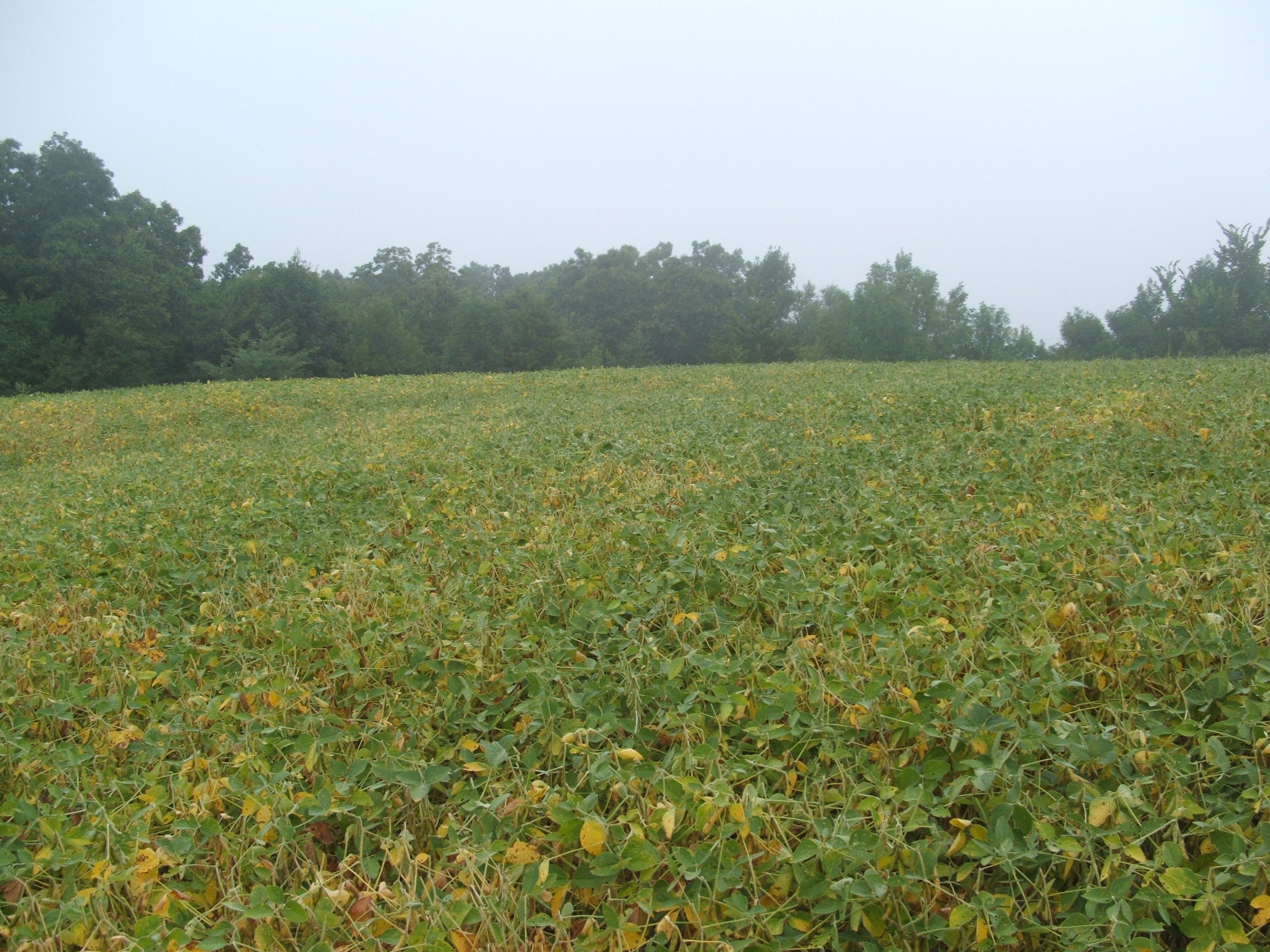 Toward the end of the growing season, soybeans will turn yellow as the beans start to ripen.  If there are other green sources of food available like clover or alfalfa, deer may leave the beans entirely only to return in a few weeks once they dry down.