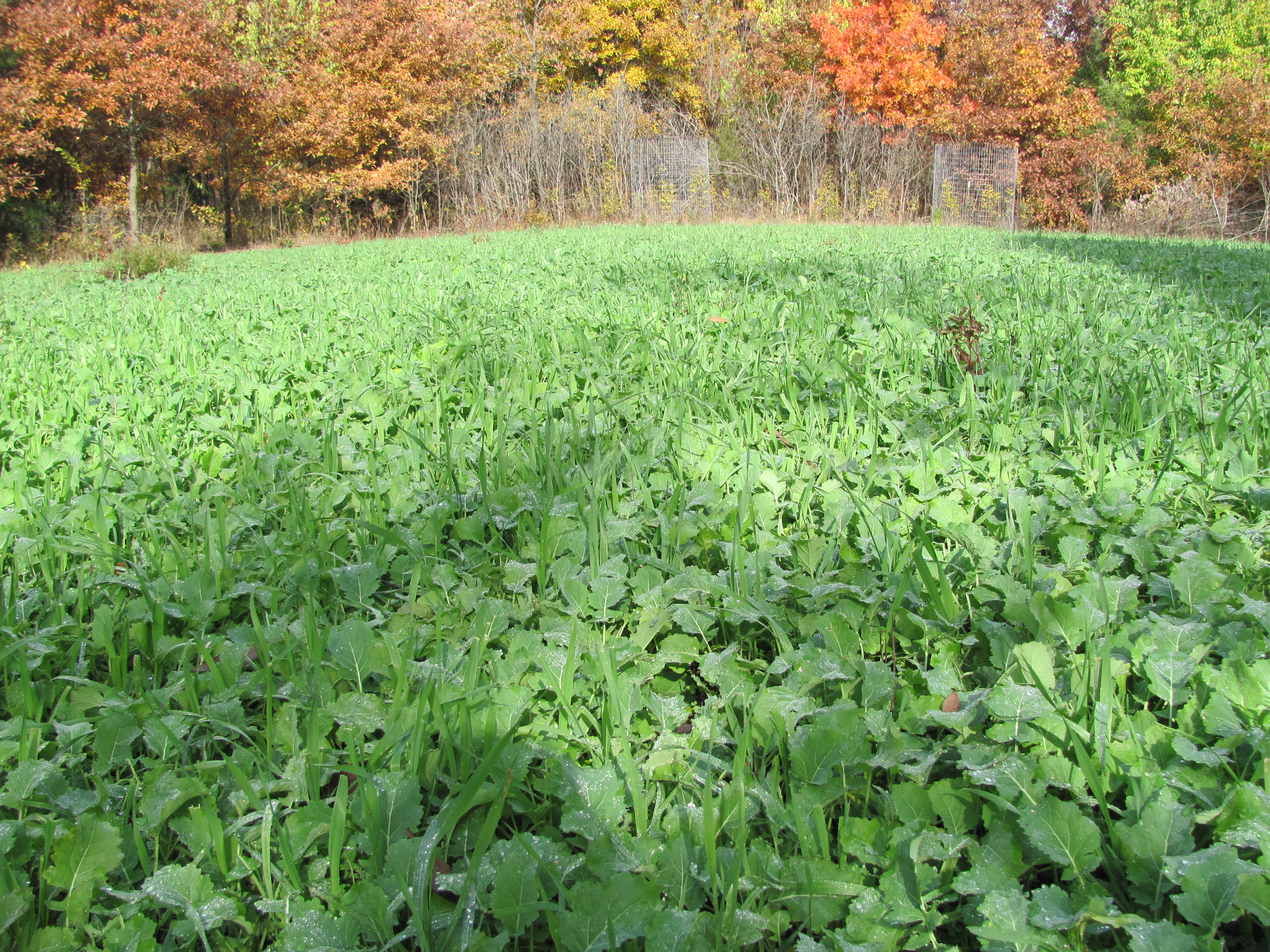 An interior plot planted in greens and growing lush like these brassicas and winter rye will draw deer during the entire hunting season.  Location in this instance is more important than the food variety.