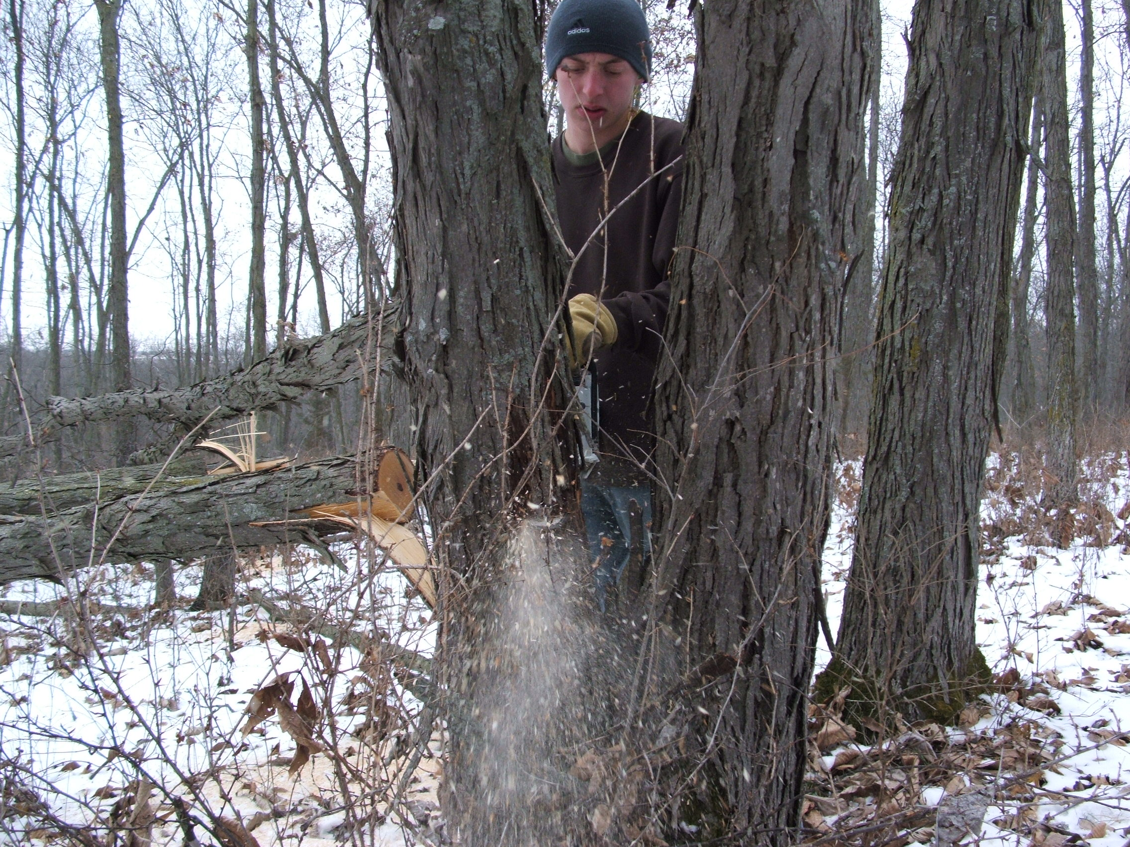 In 2012, we made the decision to end our hunt early to focus on our habitat.  Here, Forest is hinge cutting one of many hickory trees on the farm.