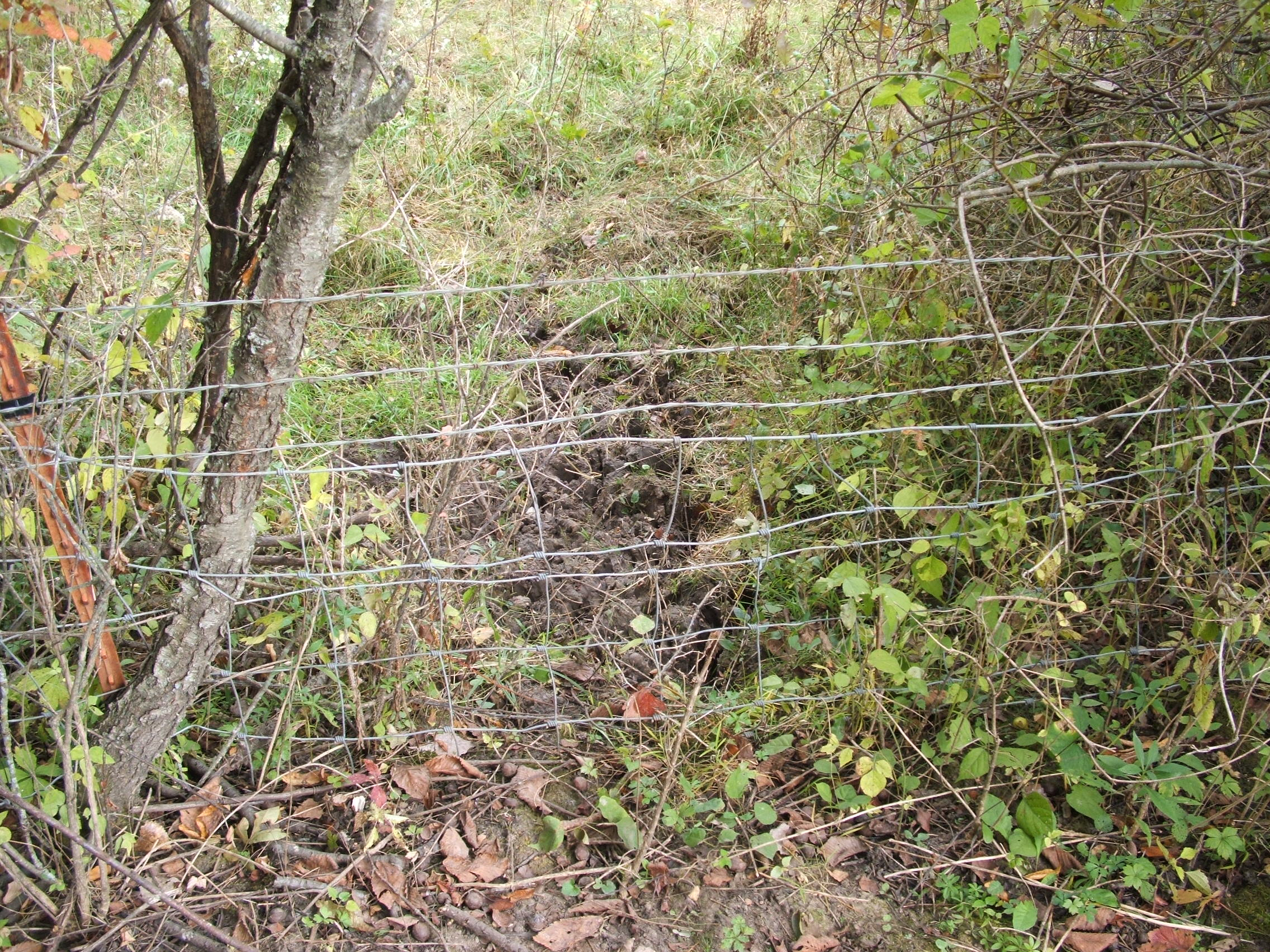 A fence jump like this will funnel deer right past your hunting set. This jump was made possible by an already very robust fence line...and then pulling this section down very low.
