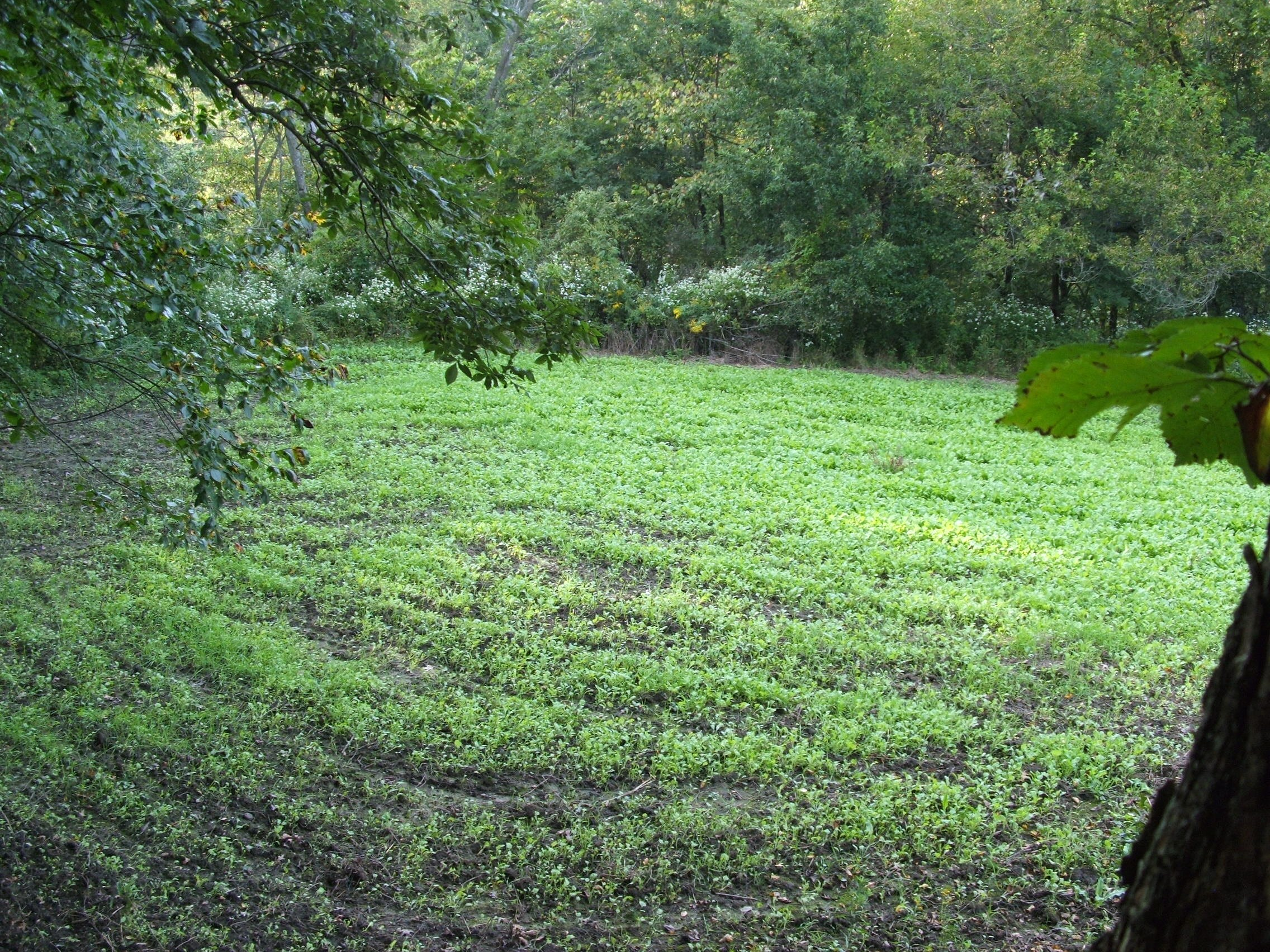 Very small food plots can add just that extra touch to make your set irresistible to a traveling buck. Small plots planted in greens work best.
