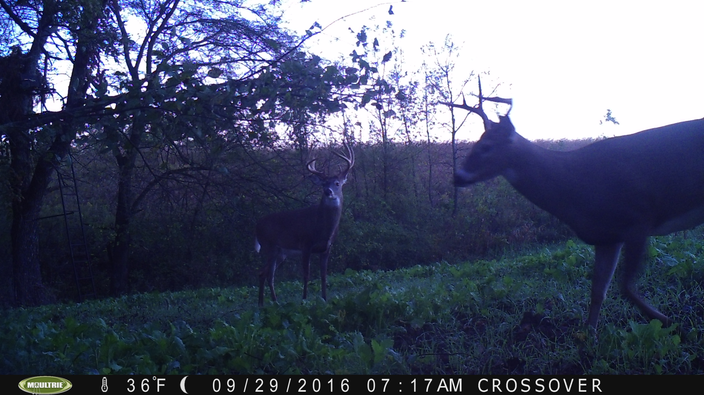 """""""Cross Over"""" in a mock scrape. You can see the ladder stand in the back ground."""