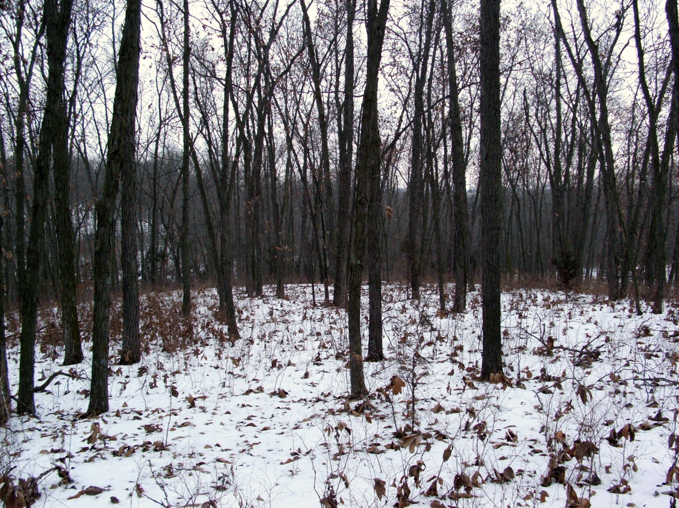 Open hardwoods offer very little in the way of cover or food.  Deer will avoid these areas in the late season.  Look for south facing slopes with thick cover.